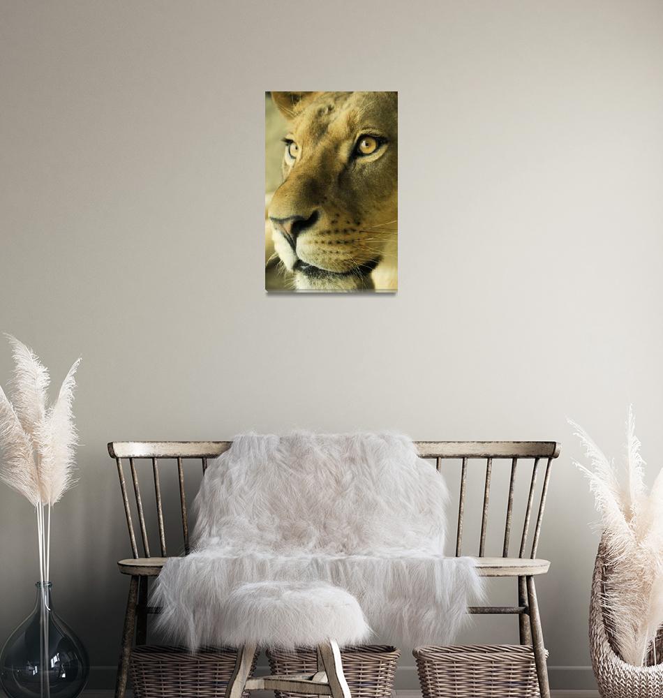 """""""Lioness""""  (2011) by sergioamiti"""