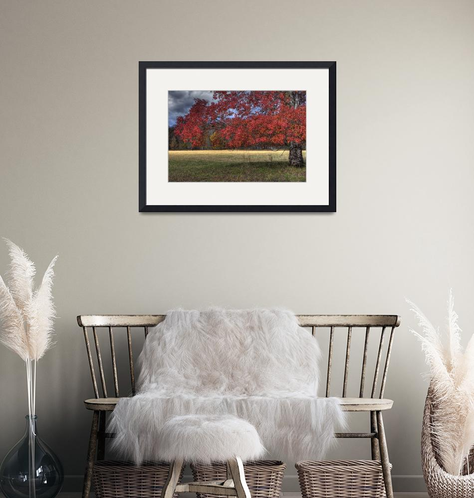 """""""Maple in Autumn Cades Cove""""  by jimcrotty"""
