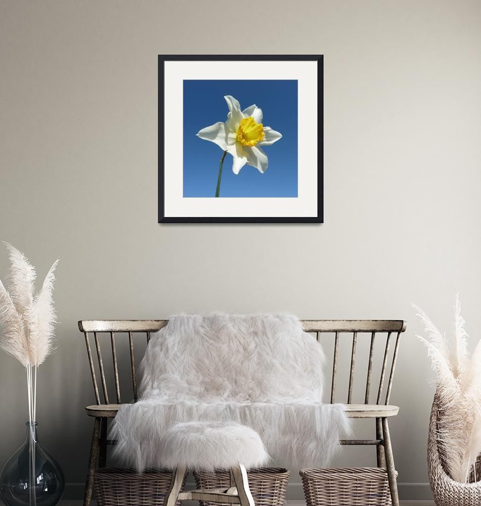 """""""Yellow and White Narcissus Daffodil""""  (2012) by JMcCoubreyPhotography"""