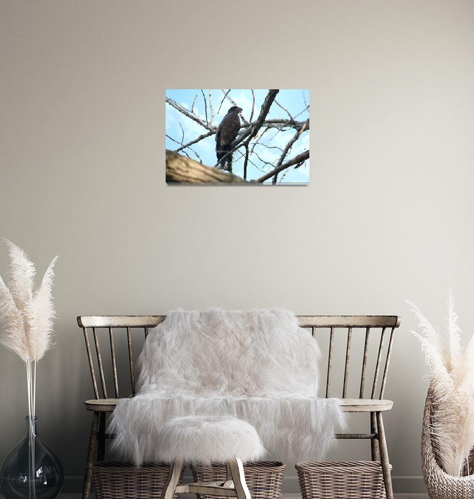 """Juvenile bald eagle""  by cameragal"