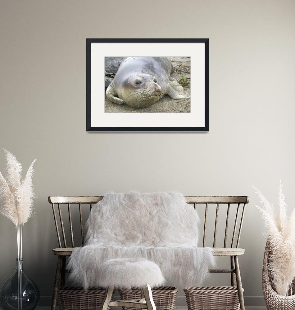 """""""Elephant Seal thoughts""""  by eyalna"""