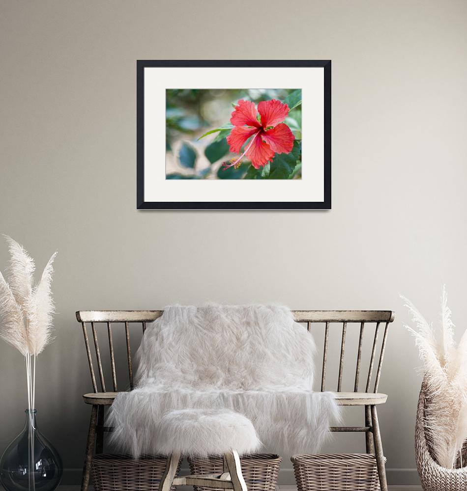 """""""Red Hibiscus""""  (2009) by Eileen"""