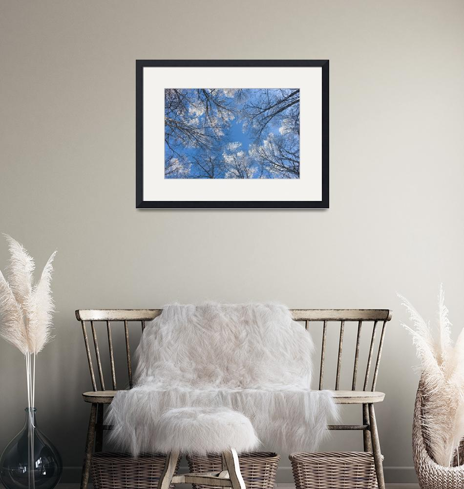 """""""Looking up through hoarfrost covered birch trees i""""  by DesignPics"""