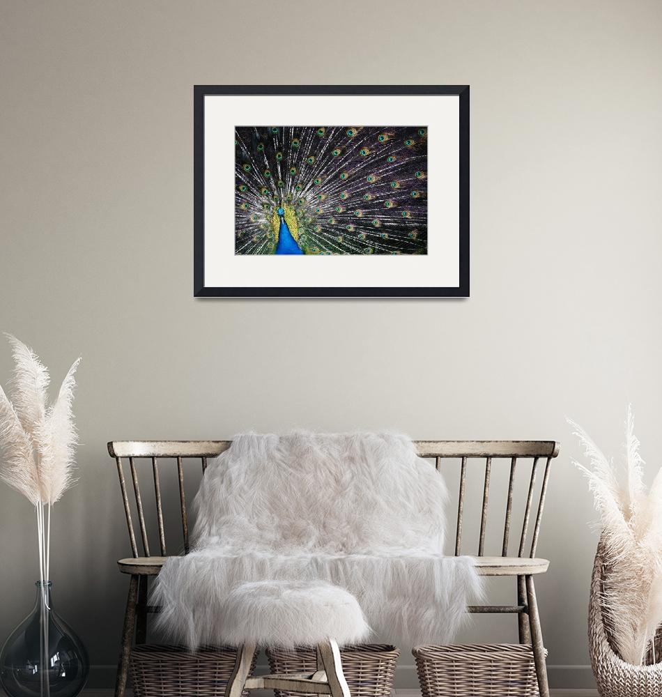"""""""Peacock""""  (2014) by markofphotography"""