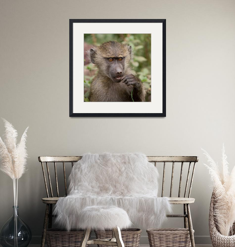"""""""baboonbaby""""  (2014) by SederquistPhotography"""