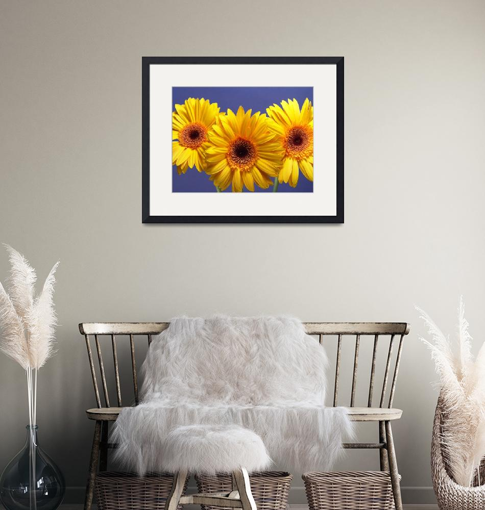 """""""Yellow Gerbera Daisies Buddy On Blue""""  by Infomages"""