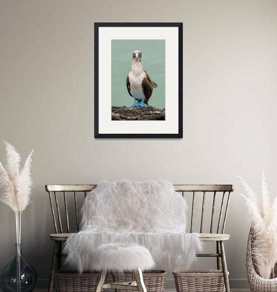 """""""Blue Footed Booby""""  (2012) by mattsellars"""