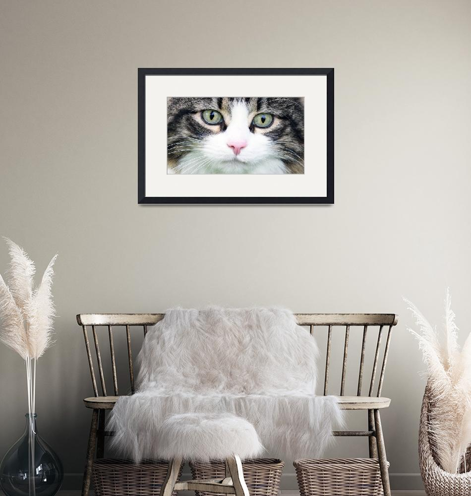 """""""Expressive Maine Coon Photo D122016""""  (2016) by MasArtStudio"""