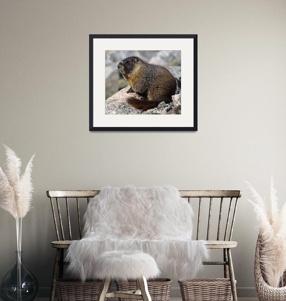 """""""Marmot, on top of the world.""""  (2012) by justnaturephotography"""