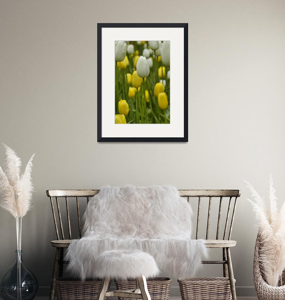 """White and Yellow Tulips""  (2012) by JohnnyStevens"