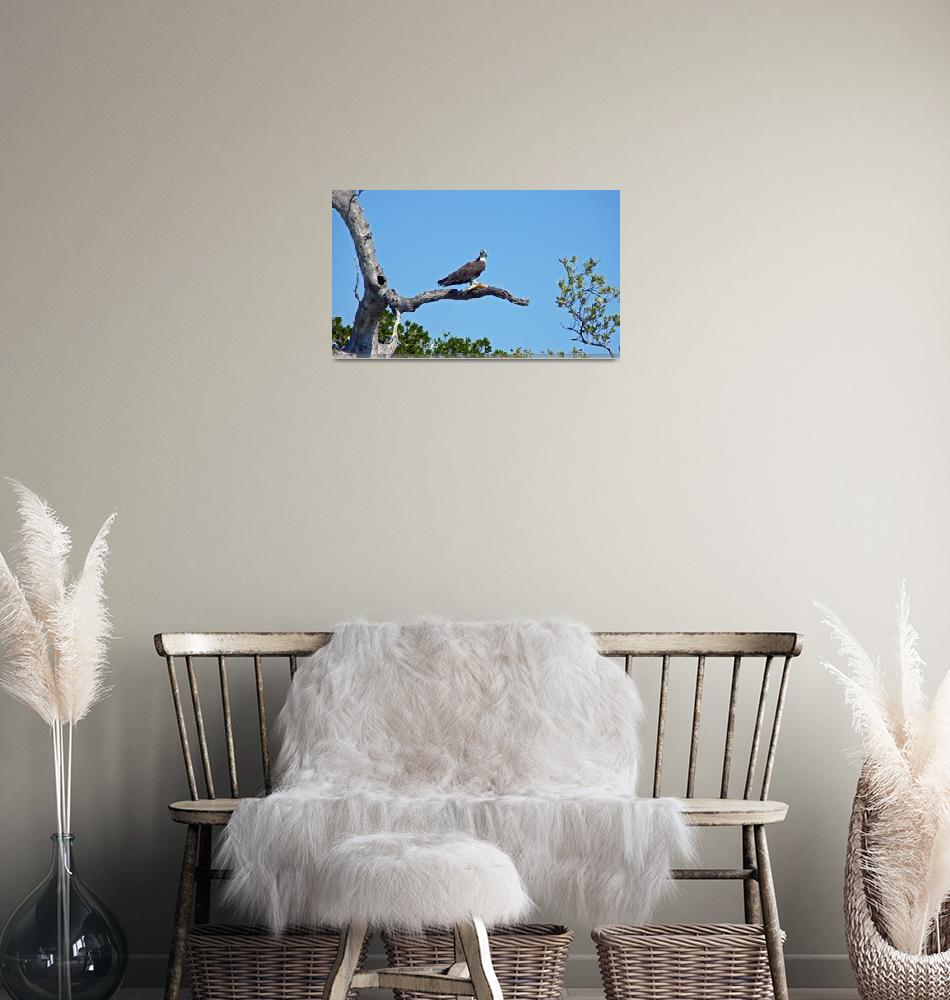 """""""Osprey with Fish""""  (2009) by shelshots"""