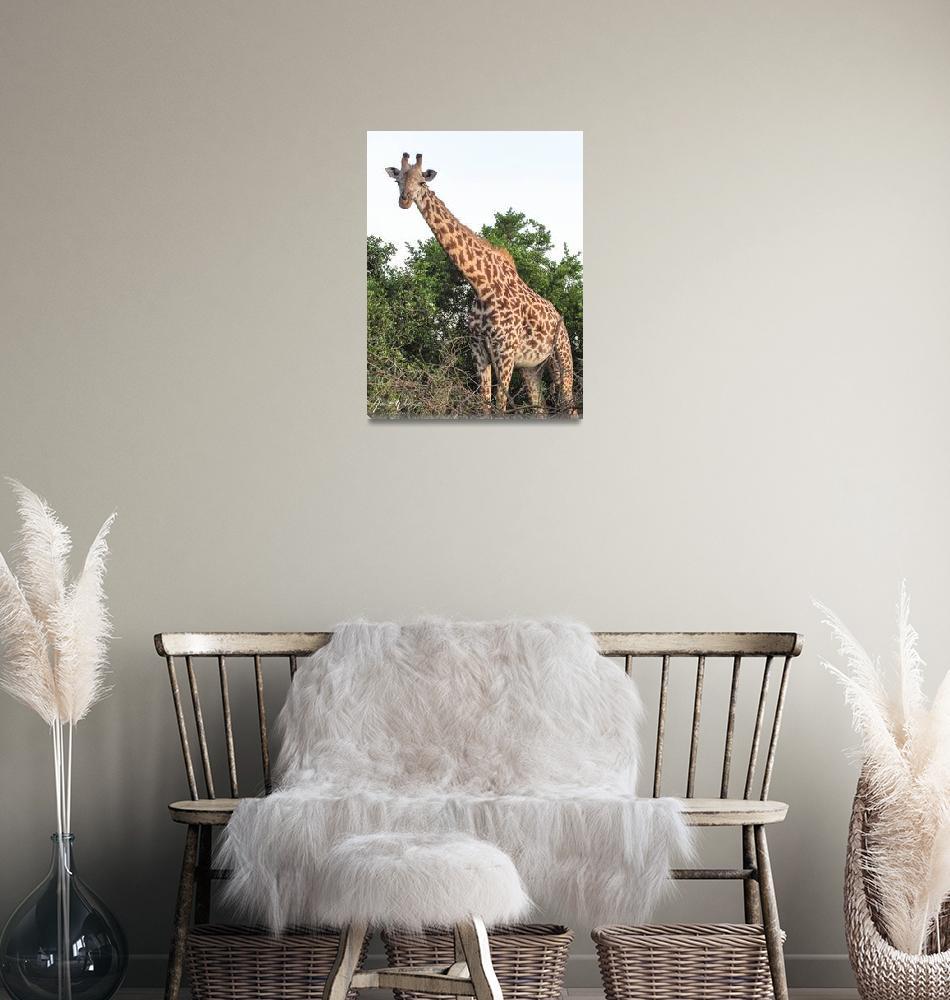 """Giraffe Standoff""  (2011) by awash77014"