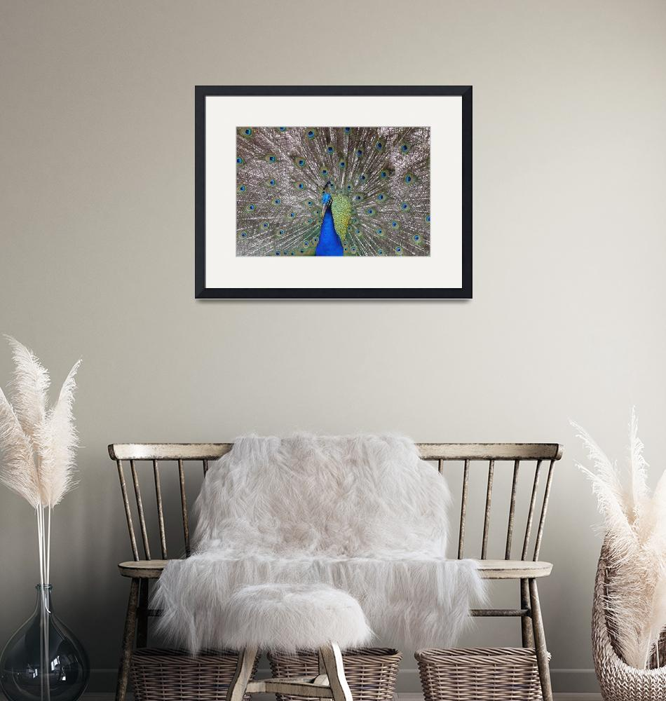 """""""Peacock Plumage""""  (2008) by stockphotos"""