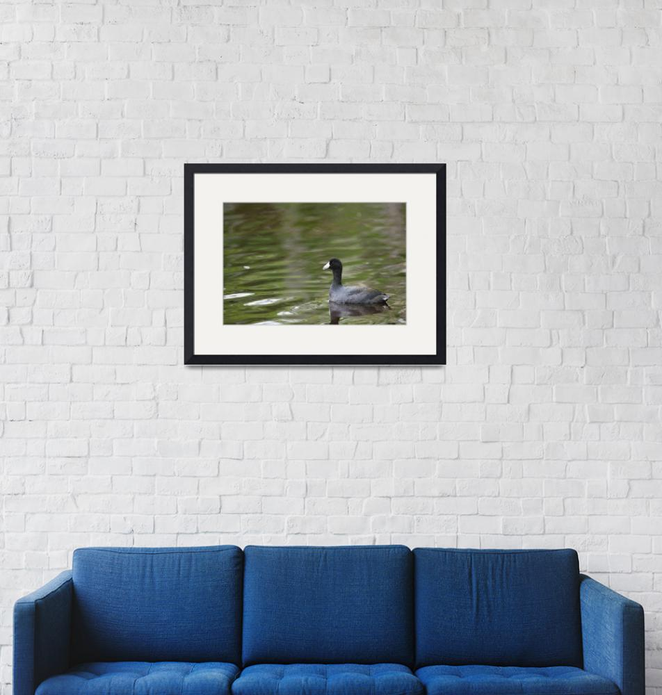 """""""American Coot""""  (2008) by DenisW"""