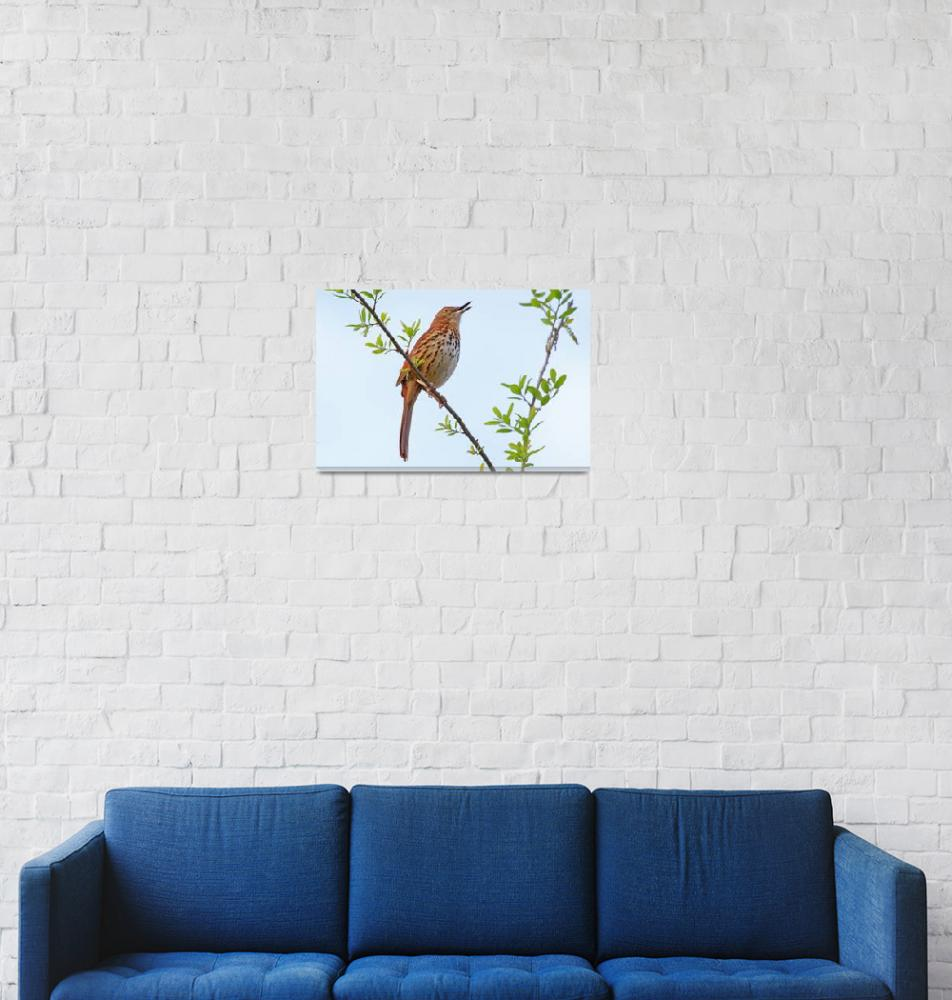 """Brown Thrasher (Toxostoma rufum)""  (2012) by shelshots"