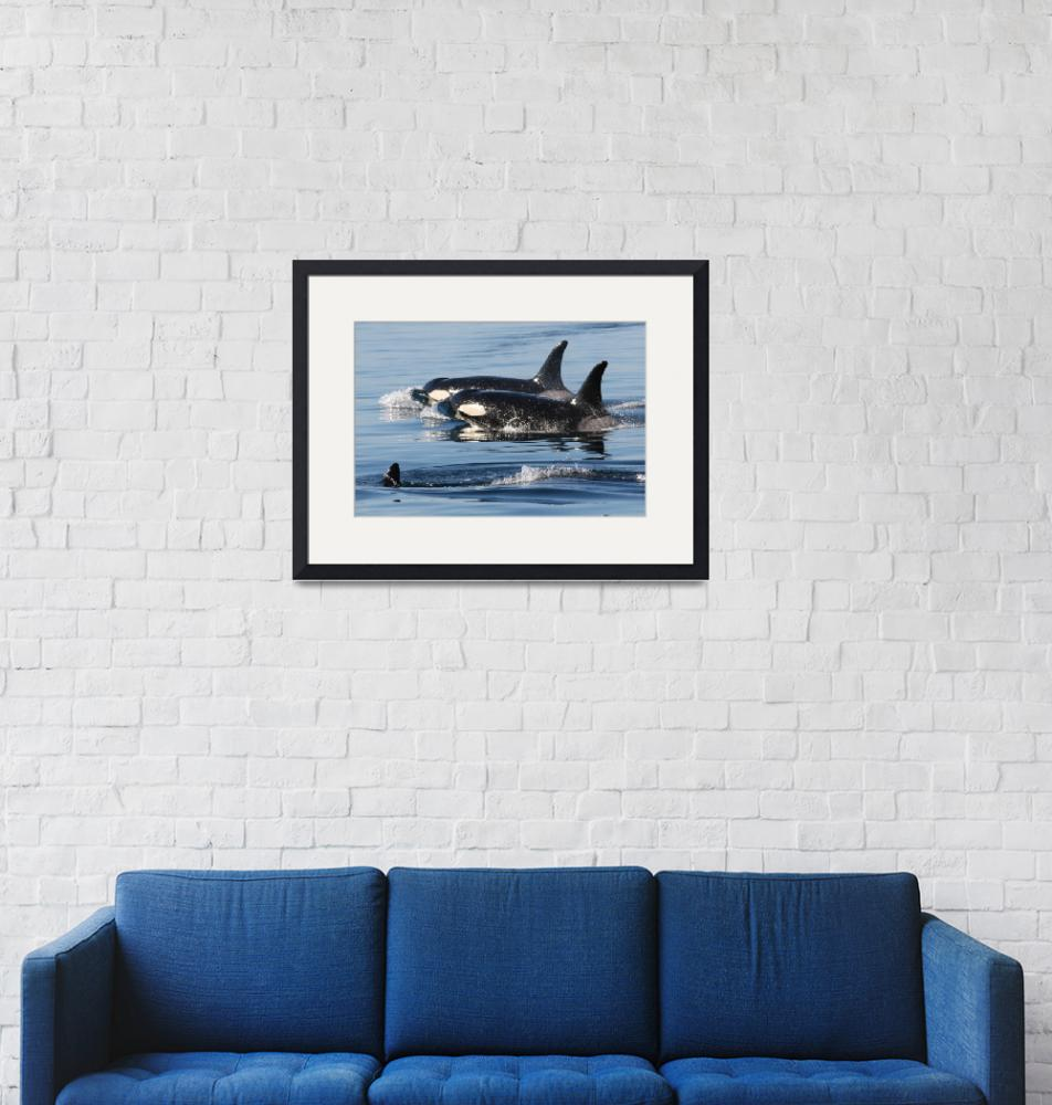 """Killer Whales Orca Whales J pod""  (2007) by sandybuckley"
