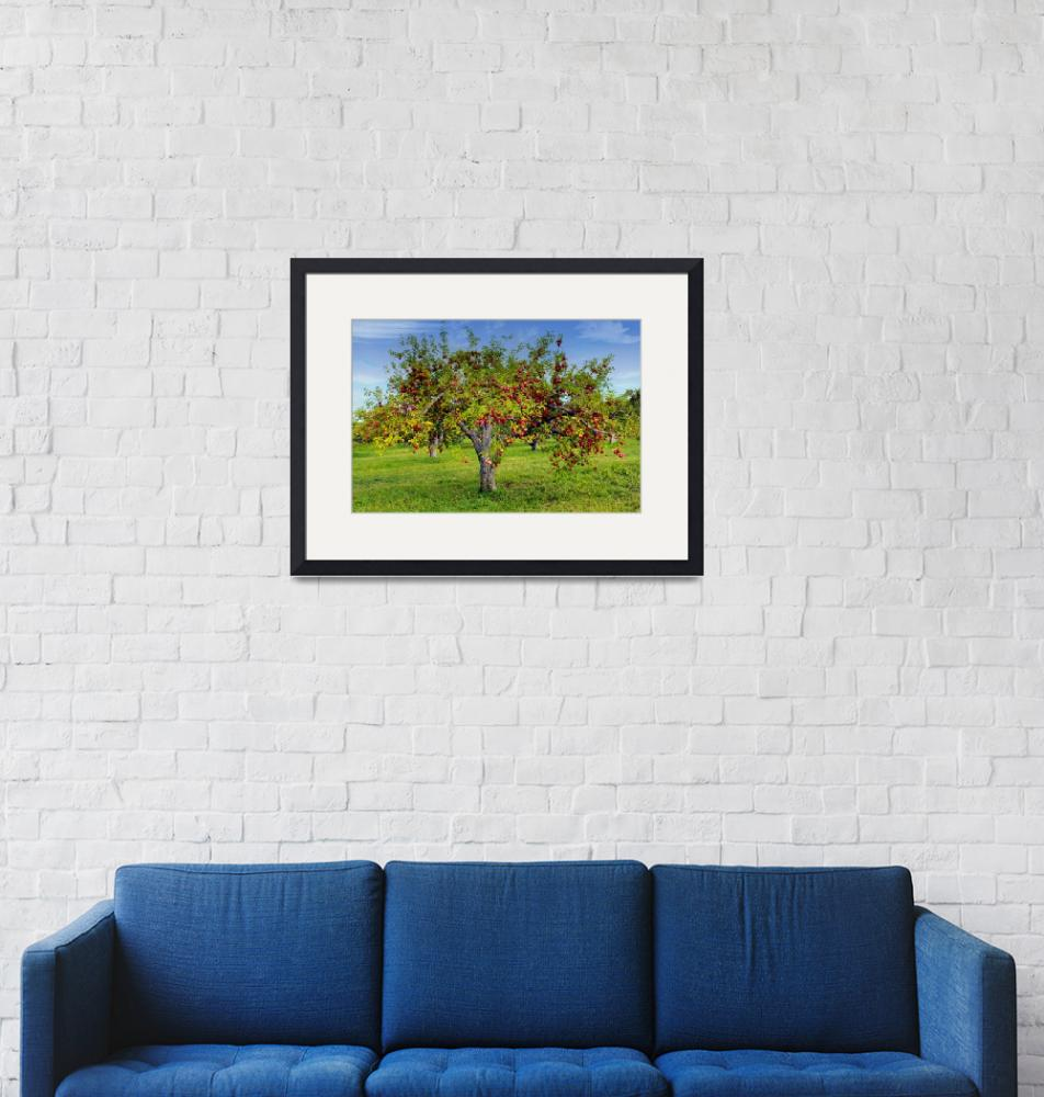 """""""Apple Trees""""  (2010) by patsphotos"""
