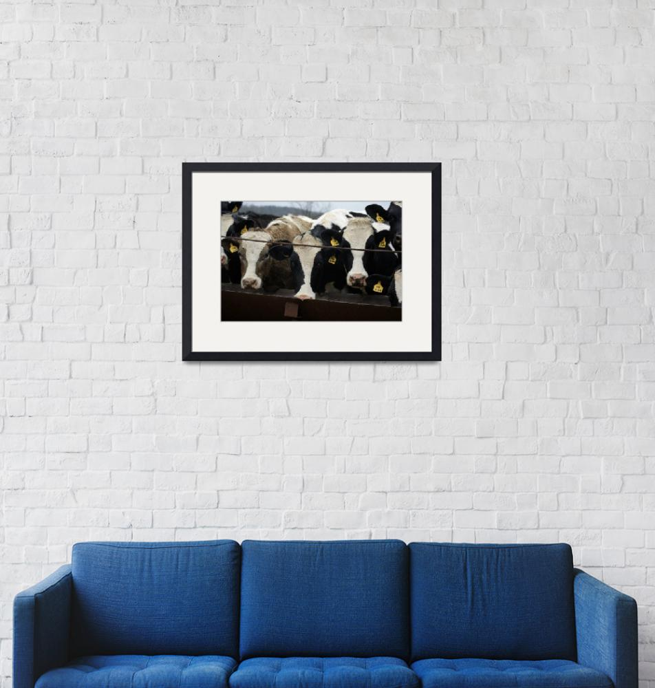 """""""Cows"""" (2011) by WildAboutNaturePhotography"""
