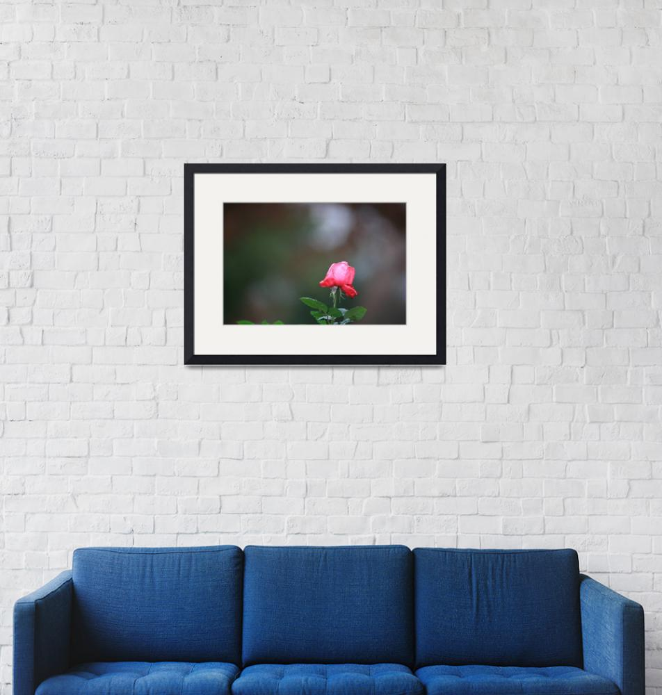 """""""Solitary Rose""""  by chrisjw"""