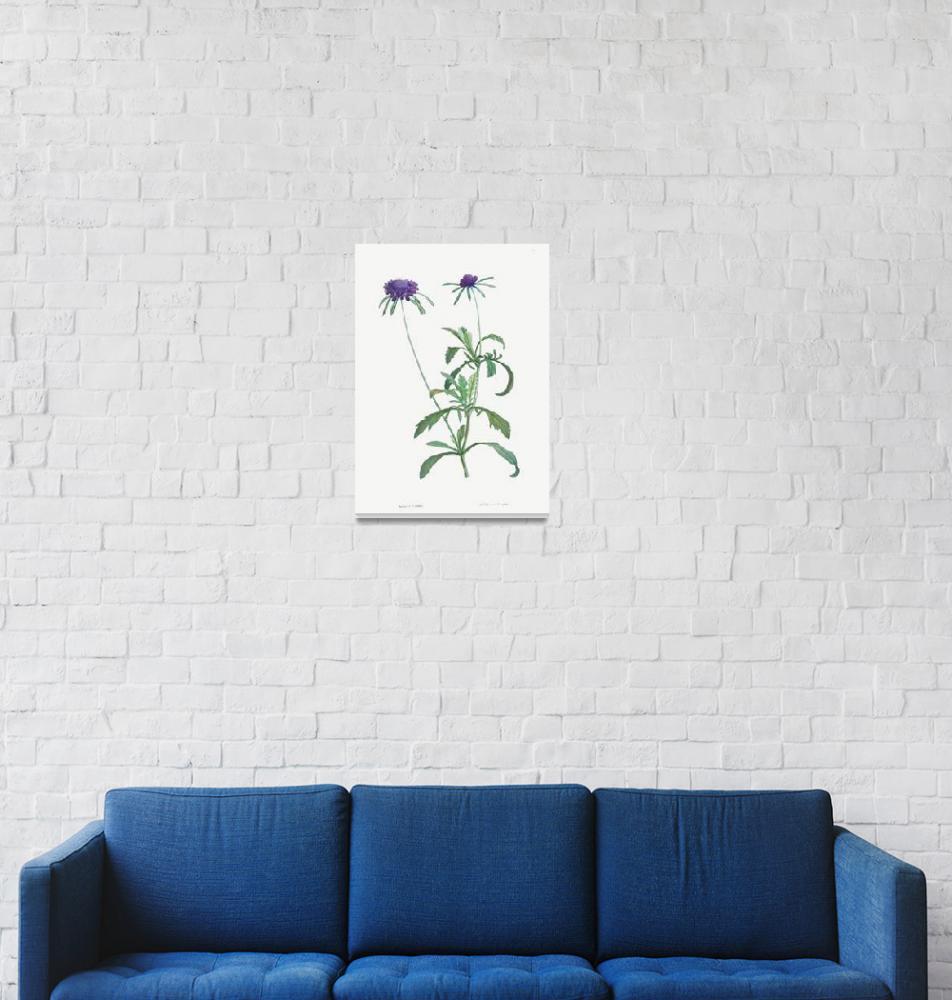 """Allium Atropurpureum Vintage Botanical""  by FineArtClassics"