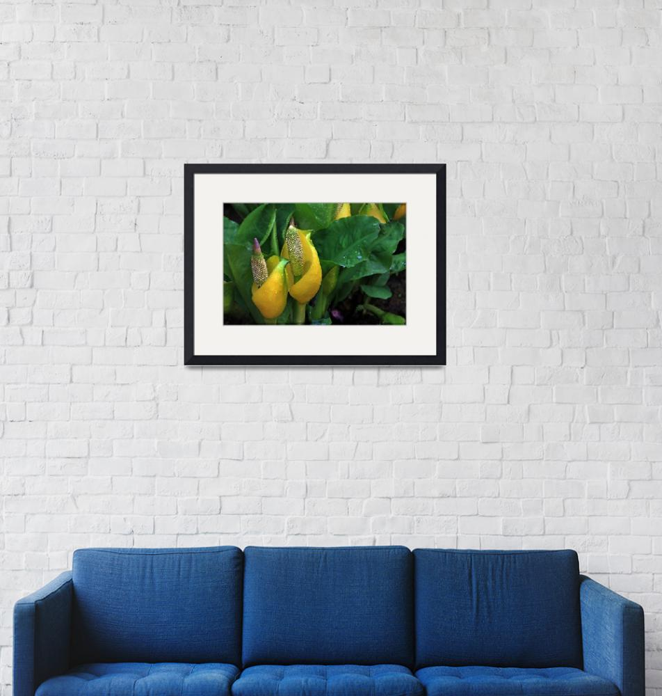 """""""Skunk Cabbage."""" (2010) by rjsphotography"""