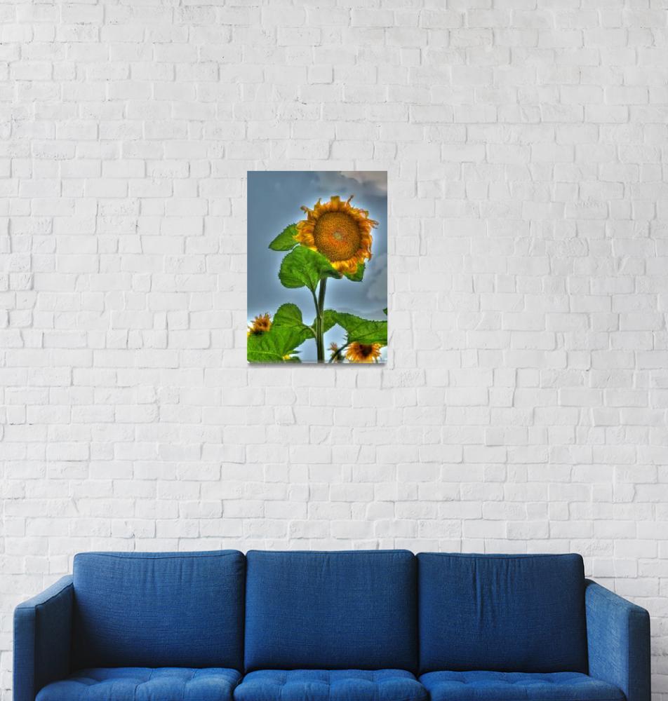 """Sunflower""  (2011) by photoshot44"