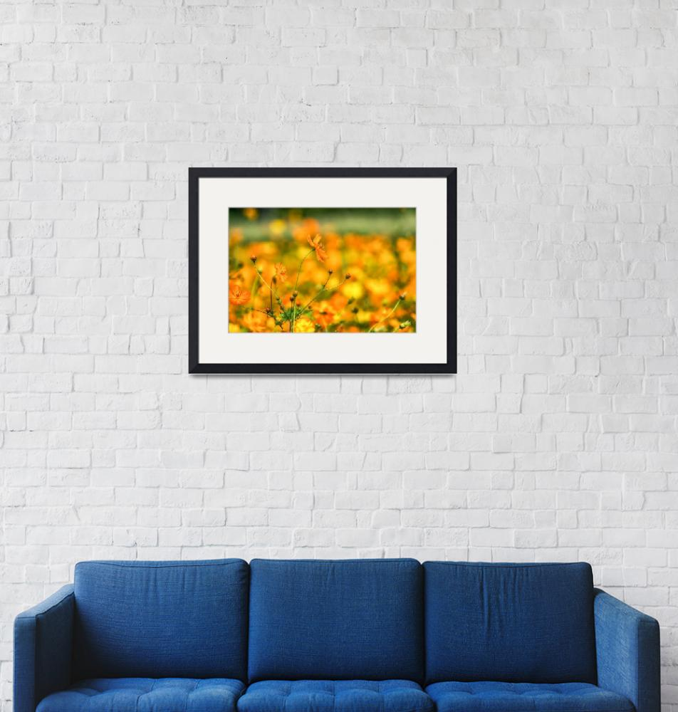 """""""Orange colored cosmos""""  (2018) by aaronchoi"""