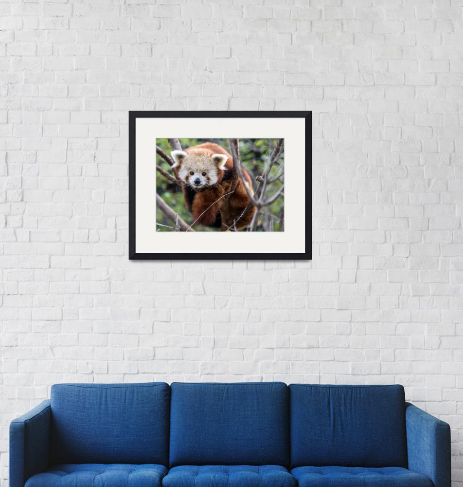 """Red Panda""  (2018) by lillisphotography"