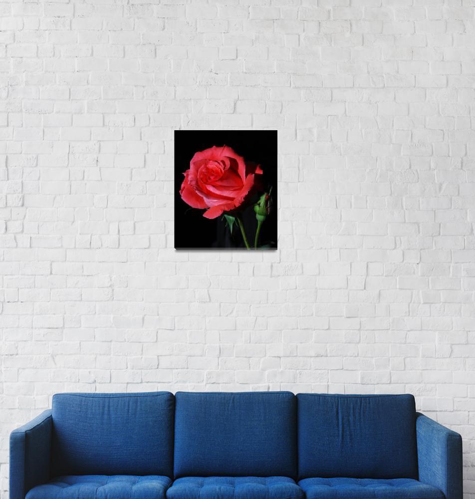 """Red Rose (Rosa America)""  (2009) by digitalmedia"