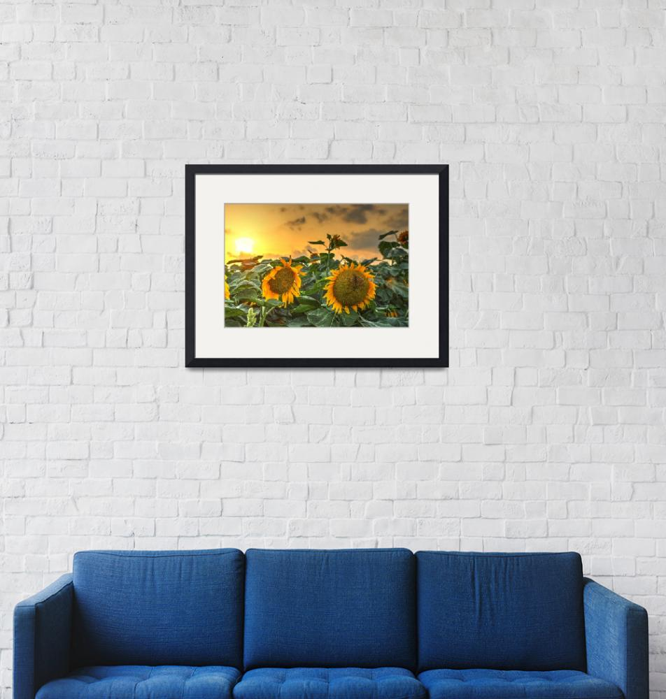 """""""Sunflowers at Sunset""""  (2015) by Hirschphotography"""