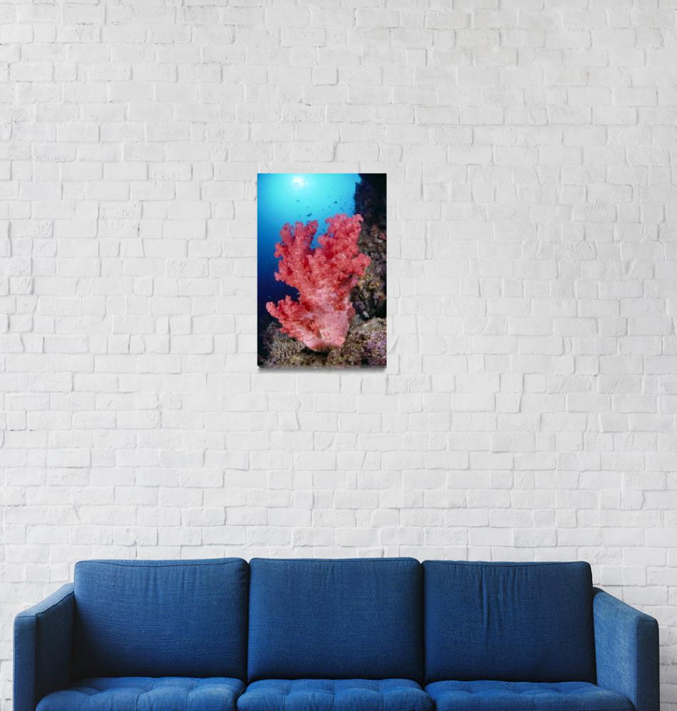 """Indonesia, Alcyonarian Coral Large Pink, Reef Scen""  by DesignPics"