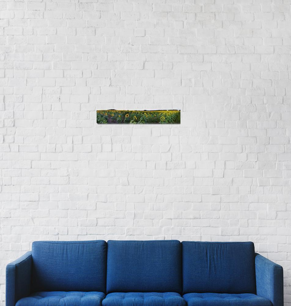 """Sunflower Field Panorama""  (2009) by jimcrotty"