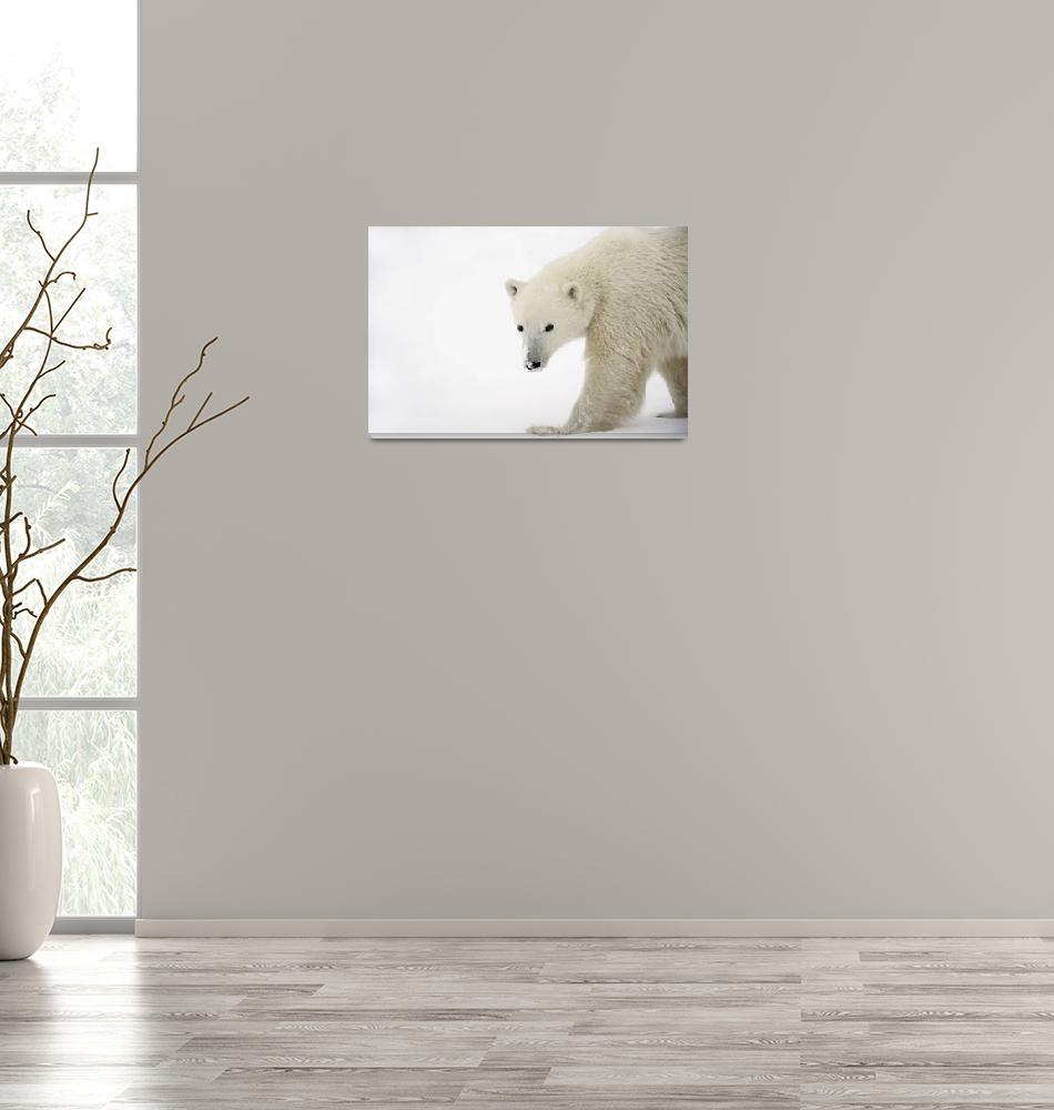 """Polar Bear""  by DesignPics"