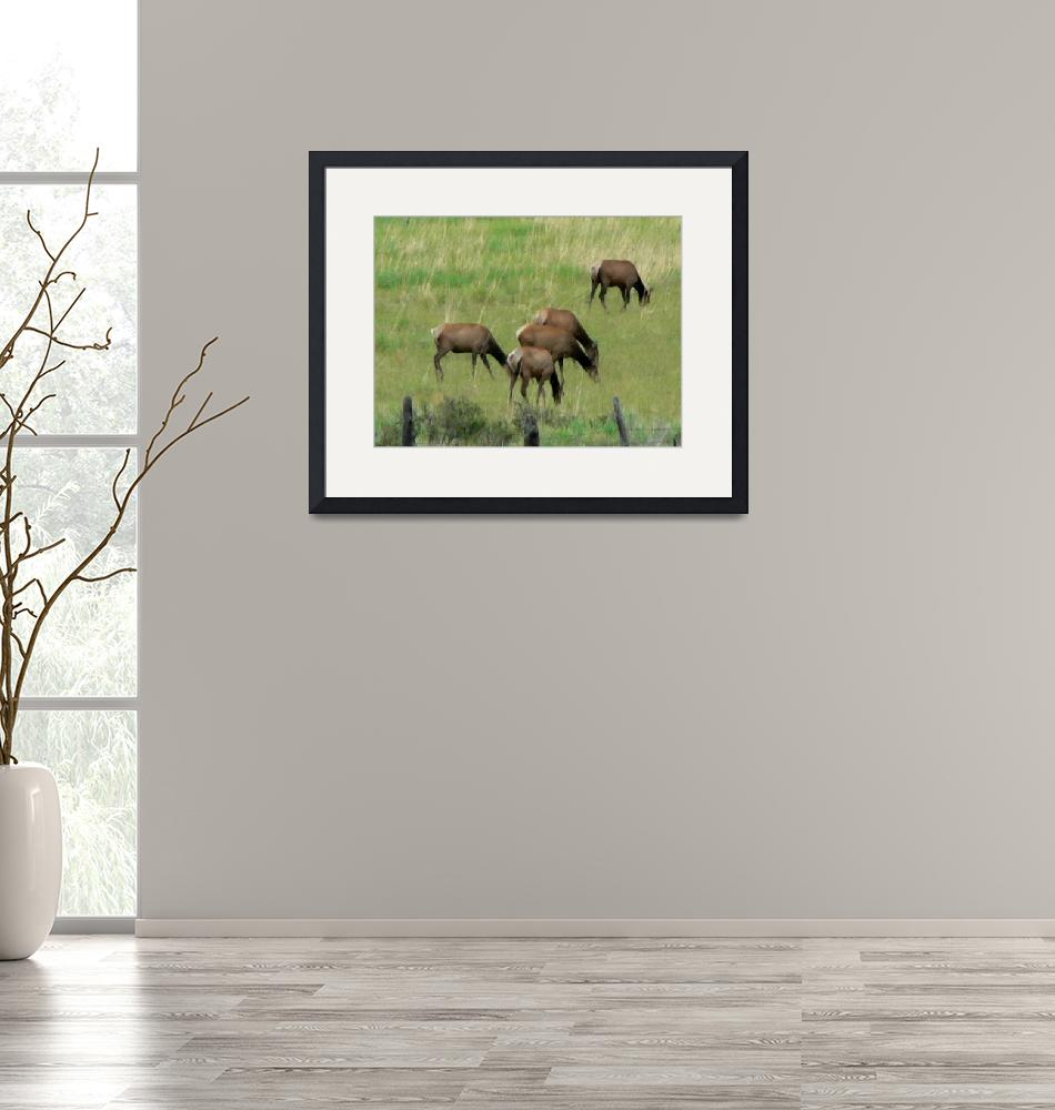 """""""Grazing Elk""""  (2009) by rayjacque"""