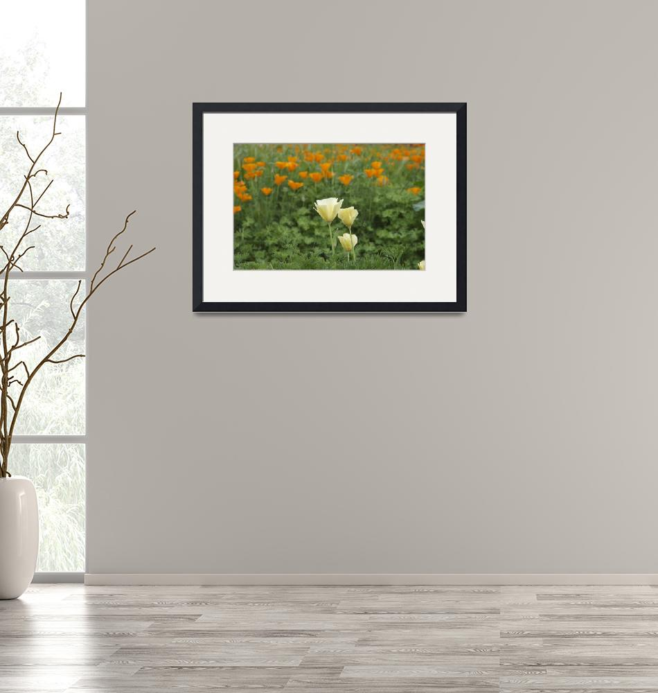 """""""The Blooming of the California Poppy""""  (2010) by annettesfavoritephotos"""