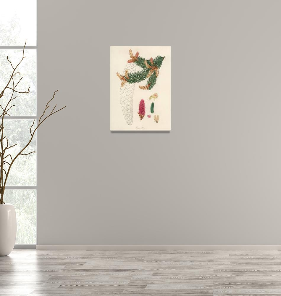 """Vintage Botanical Norway spruce""  by FineArtClassics"