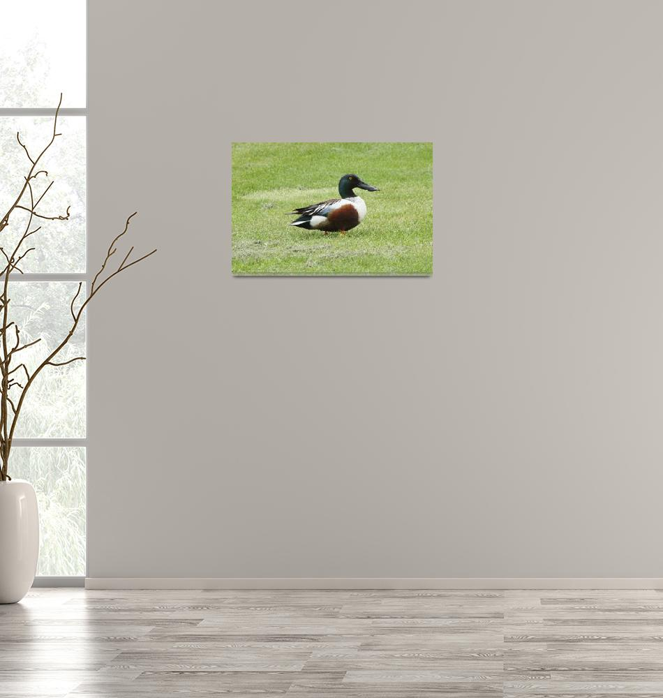 """Northern Shoveler Duck""  (2010) by cameragal"