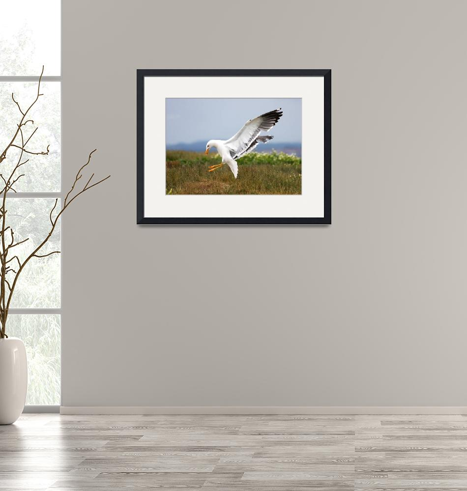 """Lesser black-backed gull (in flight)""  (2009) by jammyjimbob"
