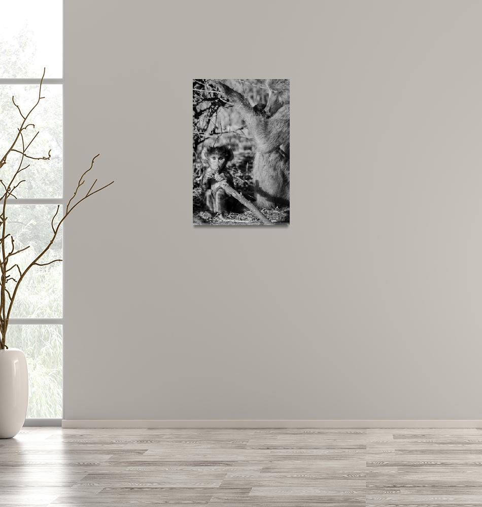 """""""Older Baboon with Baby Black and White Photograph""""  (2019) by JPRVenturesLLC"""