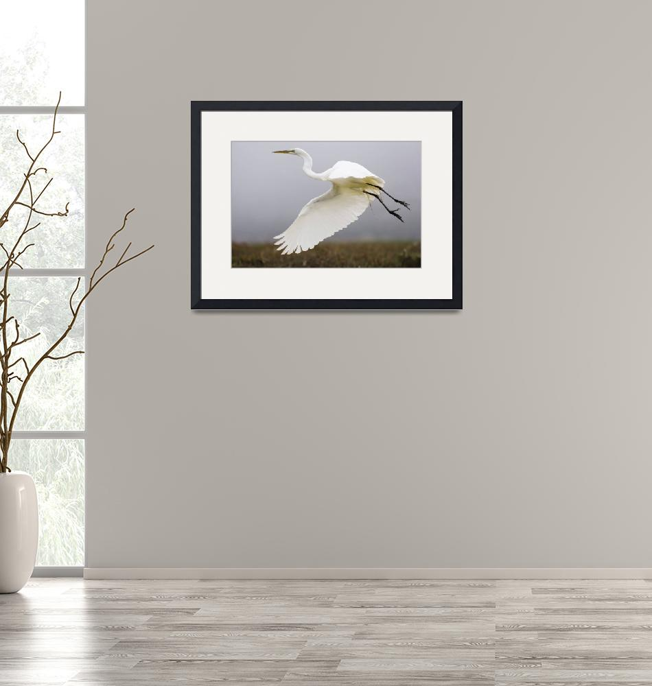 """Great Egret (Ardea alba), great-egret_MG_5189""  by mikebaird"