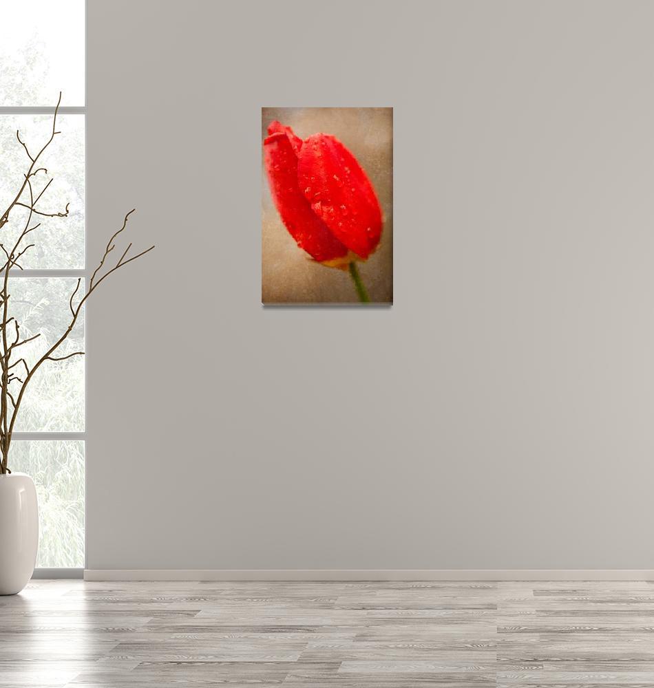 """""""Tulip in the Rain""""  (2010) by singularscenes"""