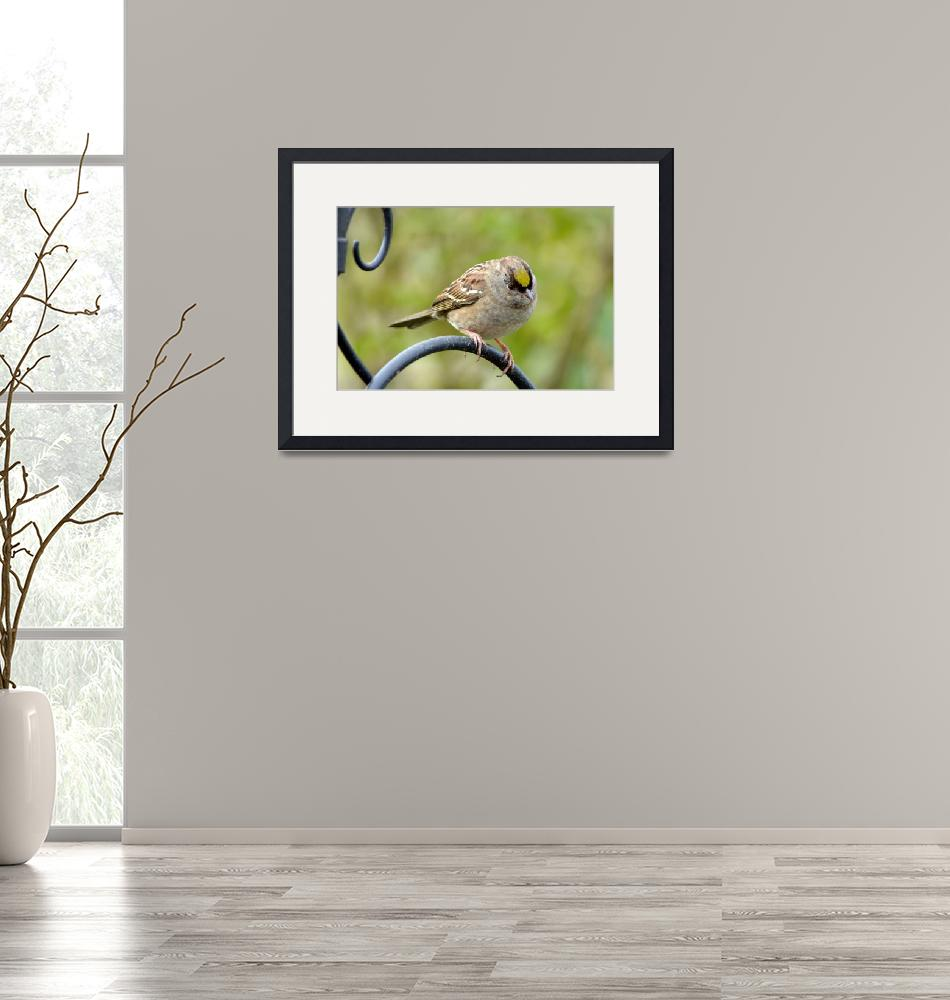 """""""Golden Crowned Sparrow, a New Season""""  (2010) by LauraM"""