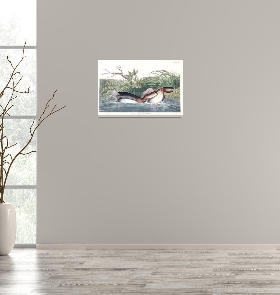 """""""American Pied Billed, Plate 248""""  by FineArtClassics"""