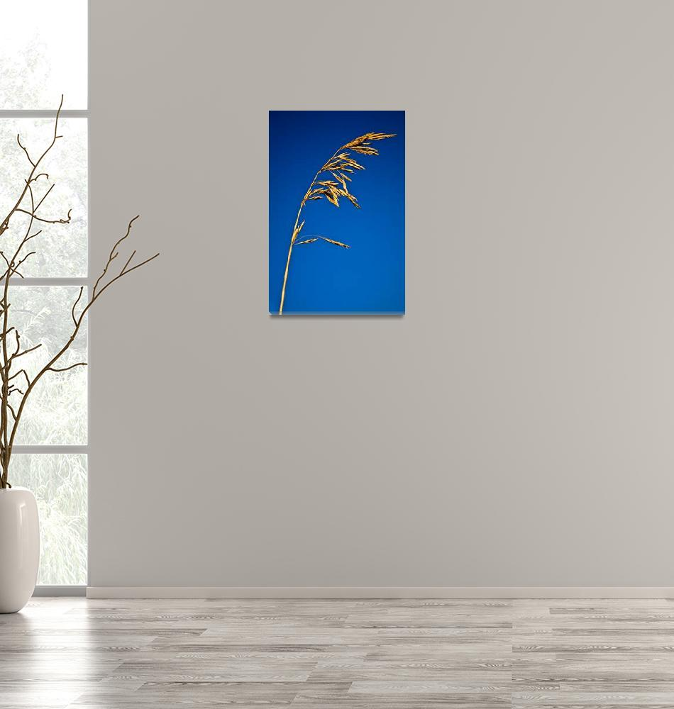 """""""One stalk of cereals on the sky background""""  by RomanPopov"""