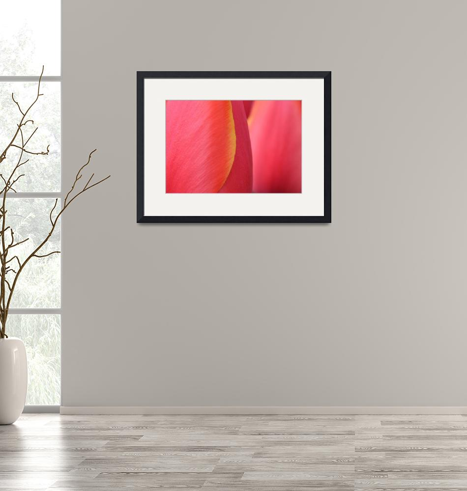 """""Pink Orange Yellow Tulip 20"" #20042315.0716 (5)""  (2015) by achimkrasenbrinkart"