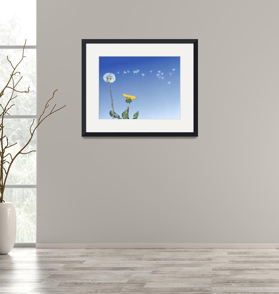 """""""Dandelion (Taraxacum officinale) seeds blowing in""""  by Panoramic_Images"""