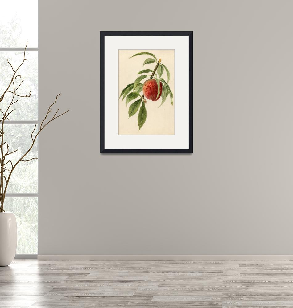"""""""Vintage Illustration of a Peach Branch""""  by Alleycatshirts"""