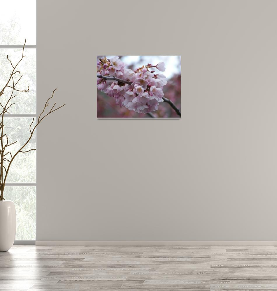 """""""Cherry Blossom""""  (2008) by laughlinphotography"""