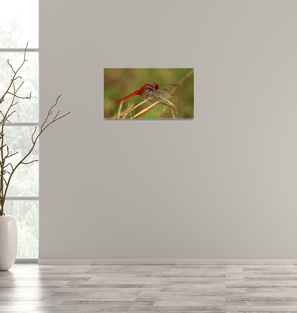 """African Red Dragonfly""  (2010) by Andrea_Donaldson"