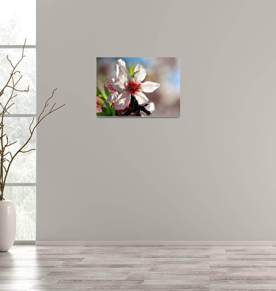 """Almond Flower: The Portuguese Sakura""  (2009) by JoaoPonces"